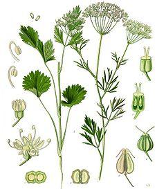 アニス(植物図)